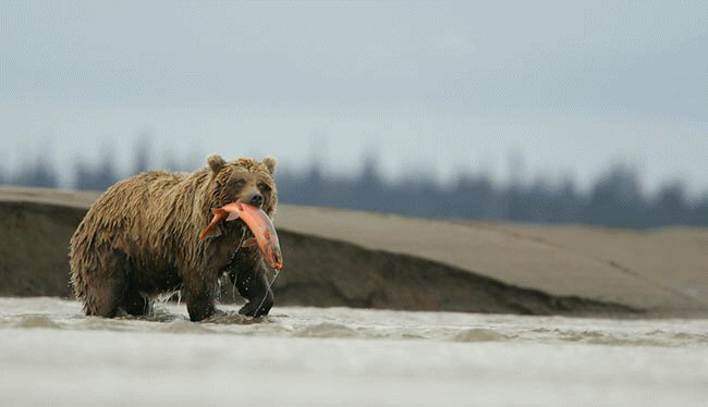 gizzly bear fishing for spawning salmon in Alaska.