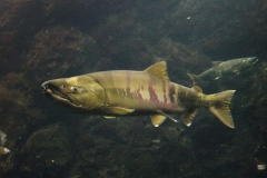 chum_salmon_mature