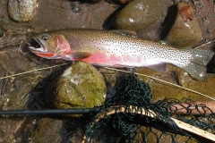 cutthroat-trout