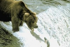 grizzley-catching-salmon-on-waterfall