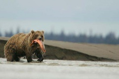 grizzley-in-river-with-salmon