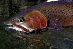 ram-river-trout